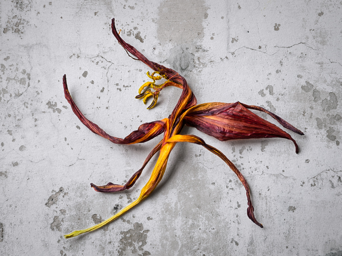 FL-Remains of the Daylily