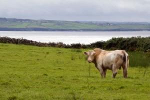 Bull in the Burren